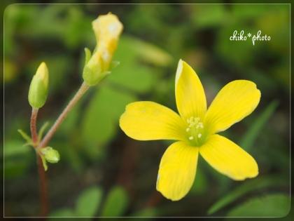photo-659 春~初夏の草花 3_1