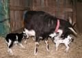 山羊の赤ちゃん1