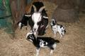 山羊の赤ちゃん 2