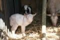 山羊の赤ちゃん