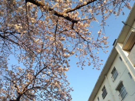 150328団地の桜
