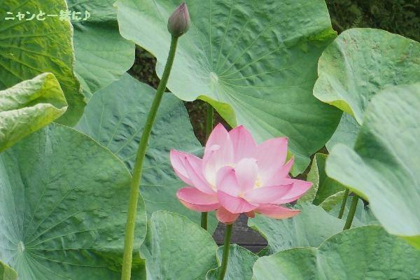 蓮の花823