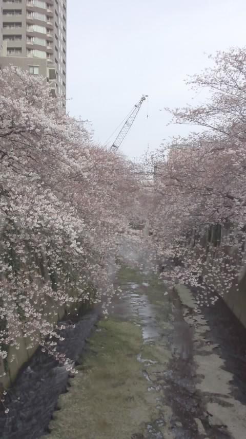 神田川桜並木 001