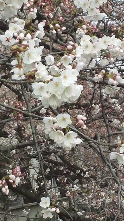 神田川桜並木 002