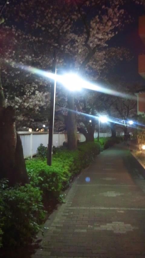 神田川桜並木 004