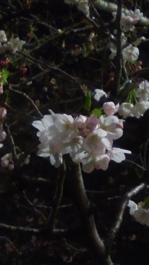 神田川桜並木 005