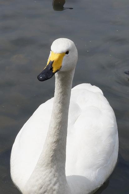 おねだり上手の白鳥