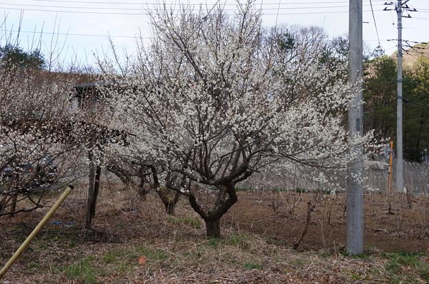 梅の木2015
