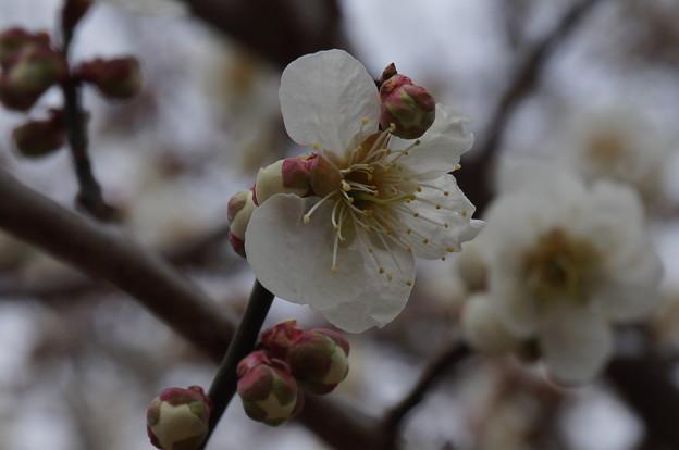 梅の花2015