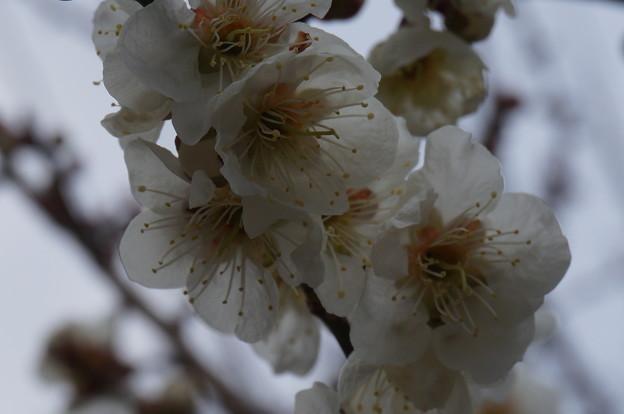 梅の花の集まり2015