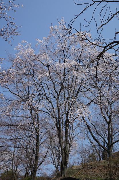 木によっては咲いてます
