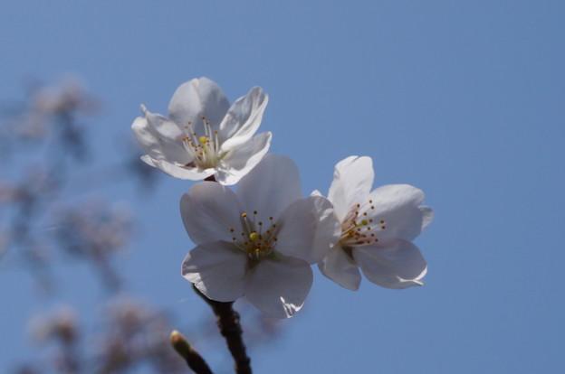 開花トリオ