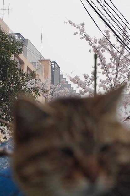 桜を背負ったニャーコ