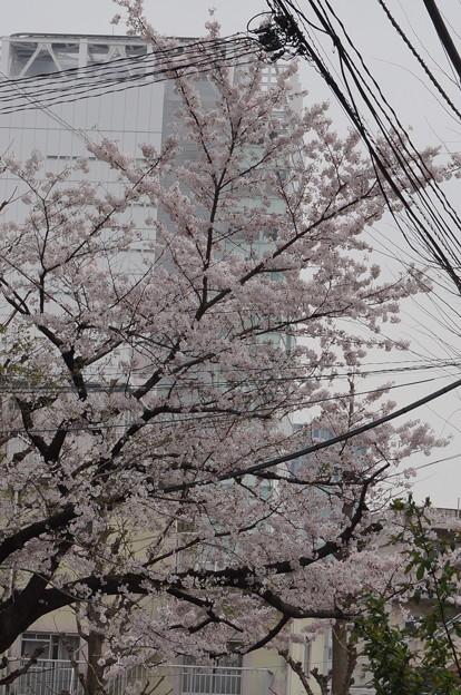 2015年東京の桜