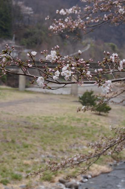 川沿いの桜~咲き始めその1~