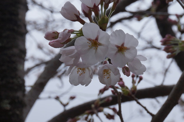 川沿いの桜~咲き始めその2~