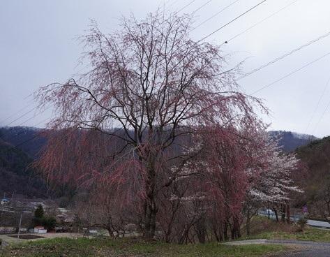 八重桜~咲き始めその1~