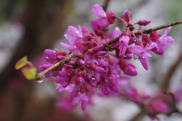 これも桜?