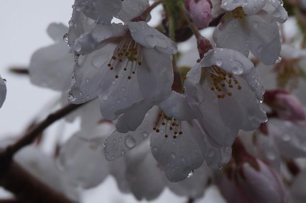 雨したたる桜