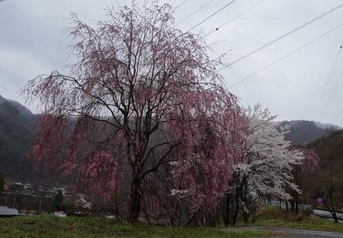 雨したたる八重桜