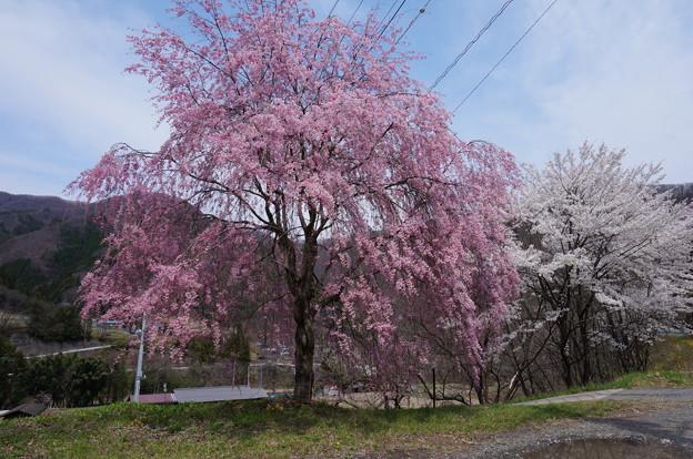日々美しく咲く八重桜