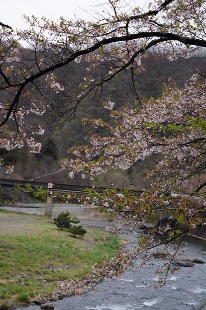今朝の川と桜
