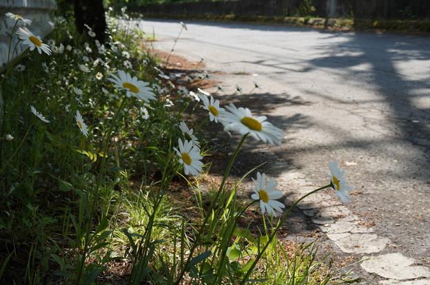 道端に咲き誇るマーガレット