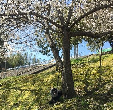 ムーと桜1