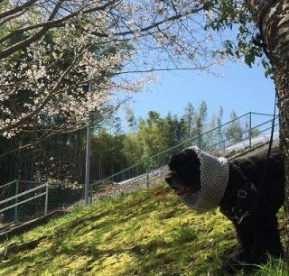 ムート桜2