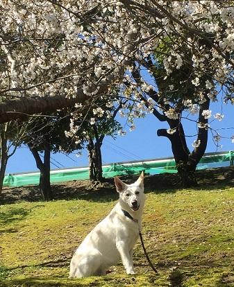 バディと桜