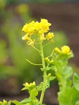 3-15菜の花1f