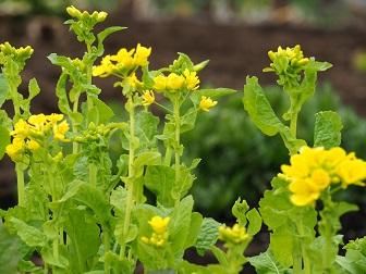 3-15菜の花2f