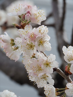 3-19さくらんぼの花1f