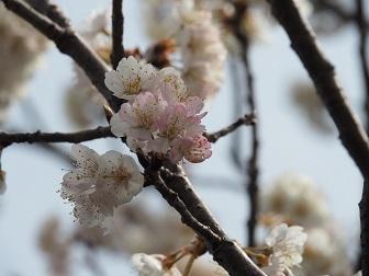 3-19さくらんぼの花2f