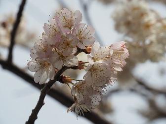 3-19さくらんぼの花3f