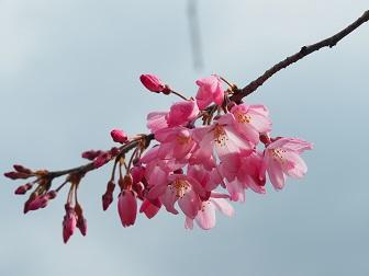 3-24枝垂桜1F8f