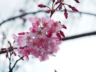 3-24枝垂桜F8f