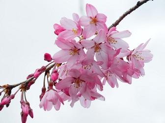 3-24枝垂桜F13f