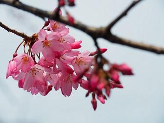 3-24枝垂桜F71f