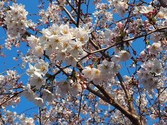 4-1桜1f