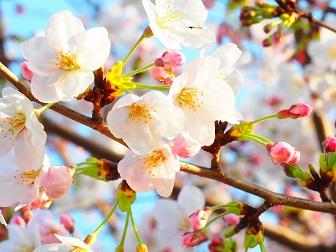 4-1桜4f