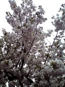 造幣局 桜の通り抜け 2015 Part2(今年の花:一葉)