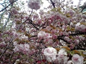 造幣局 桜の通り抜け 2015 Part2(泰山府君)