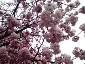 造幣局 桜の通り抜け 2015 Part2(八重曙)