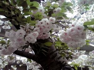 造幣局 桜の通り抜け 2015 Part2(大提灯)