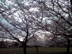 大泉緑地の桜 2015 桜広場(朝焼けと桜 その1)