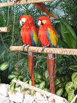 250px-Scarlet_Macaw_(Ara_macao)_-two_on_perch.jpg
