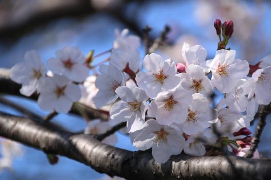 150328宮浦桜 (222)のコピー
