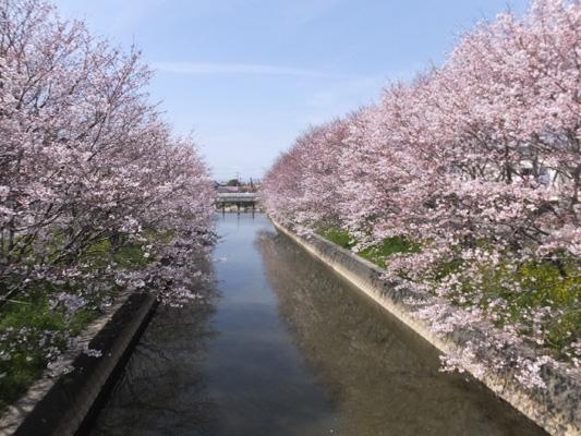 150329堂面川桜 (136)のコピー
