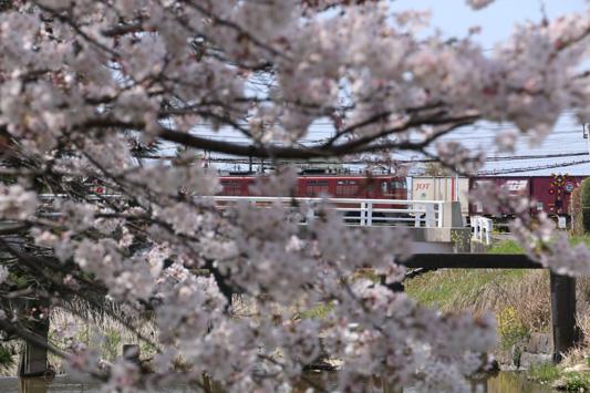 150329堂面川桜 (182)のコピー